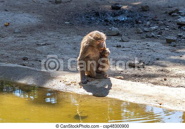 Monkey - csp48300900