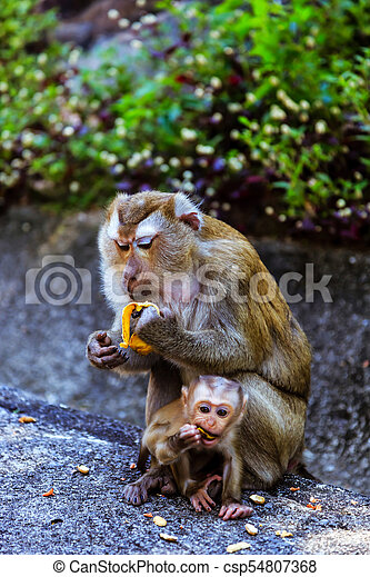 Monkey with a baby at Monkey Hill - csp54807368