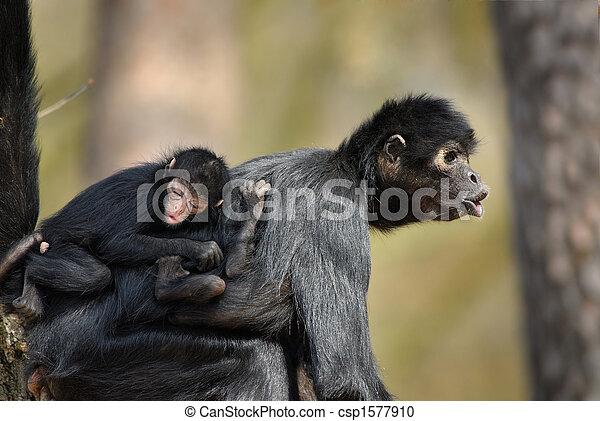 mono araña - csp1577910