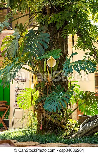 Monstera deliciosa plant blooming tropical plant with white flower mightylinksfo