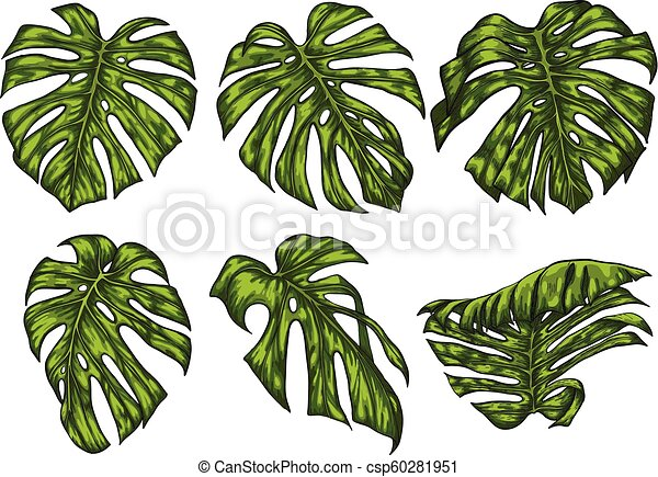 Monstera leaf sketch by hand drawing. - csp60281951