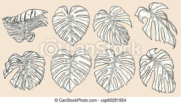 Monstera leaf sketch by hand drawing. - csp60281954