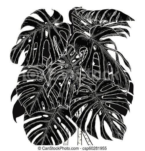 Monstera leaf sketch by hand drawing. - csp60281955