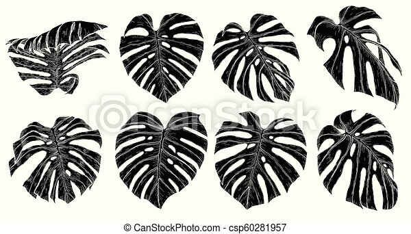 Monstera leaf sketch by hand drawing. - csp60281957