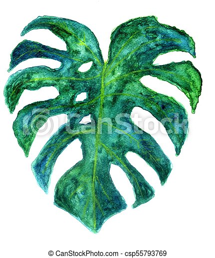 Monstera Leaves Art Decorative Big Green Tropical Leaves Monstera Watercolor Illustration Canstock Polish your personal project or design with these tropical leaves. https www canstockphoto com monstera leaves art 55793769 html