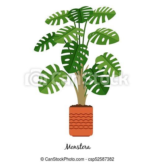 Monstera plant in pot on monstera philo cheesecake, monstera pertusum, monstera leaves, monstera direct sun, monstera sunny window, monstera thai constellation, monstera leaf browning,