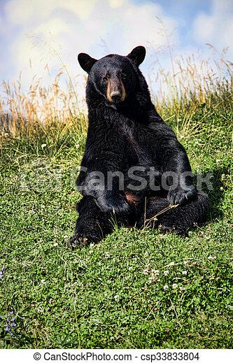 Un oso negro en el prado de la montaña - csp33833804