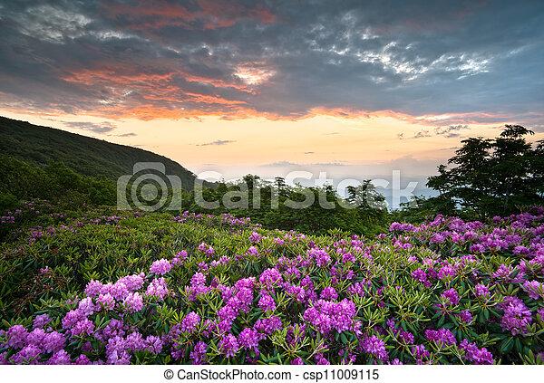montañas azules, rododendro, caballete, escénico, primavera, encima, nc, ocaso, asheville, appalachians, parkway, flores, flores - csp11009115