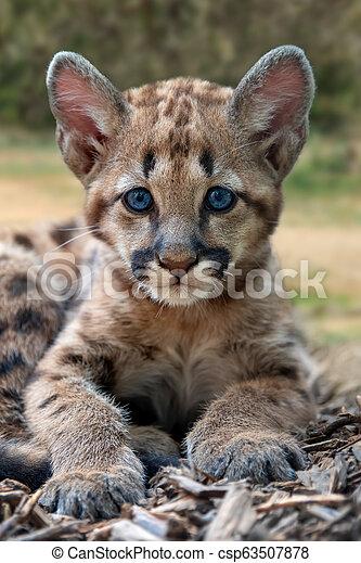montagne, puma, puma, lion, bébé, ou - csp63507878