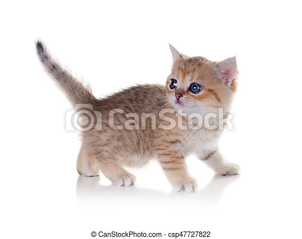 Monthly kitten British Shorthair  Color: Black Golden Shaded  Isolated on  white background