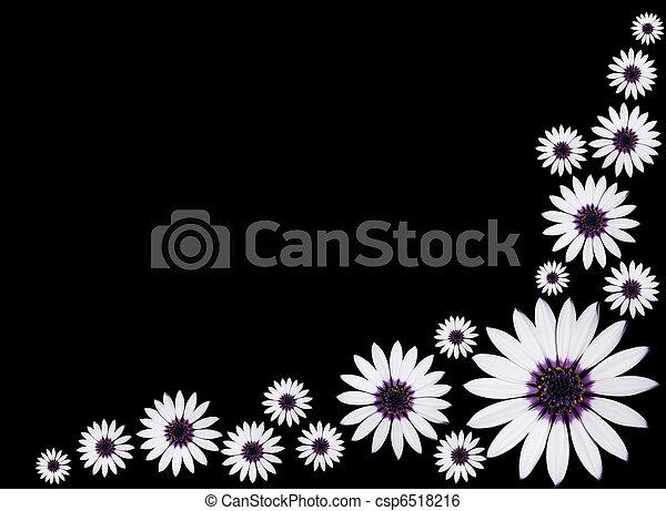 mooi, asti, groep, osteospermum, paarse , vrijstaand, achtergrond., black , madeliefje, witte bloemen, centrum - csp6518216