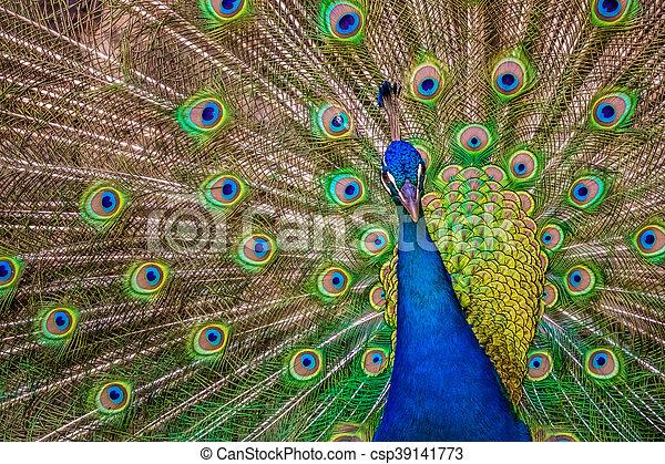 mooi, pauw, vogel. mooi, pauw, zijn, breed, kleurrijke, staart, het