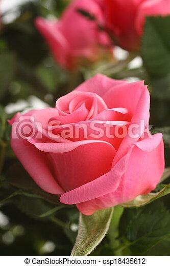 mooi, rose kwam op - csp18435612