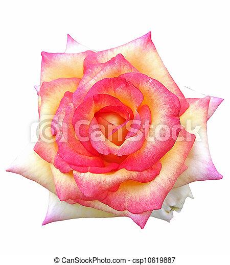 mooi, rose kwam op - csp10619887