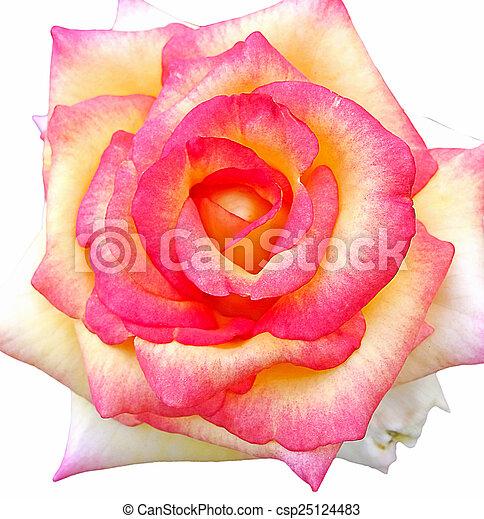 mooi, rose kwam op - csp25124483