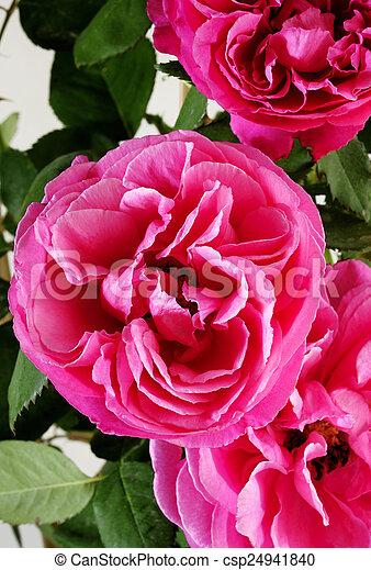 mooi, roze, tuin, roos - csp24941840