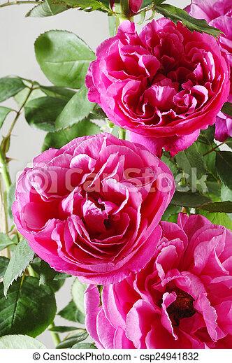 mooi, roze, tuin, roos - csp24941832