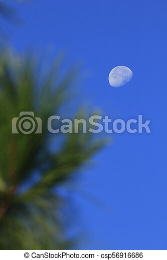 Moon and daytime pine leaves - csp56916686