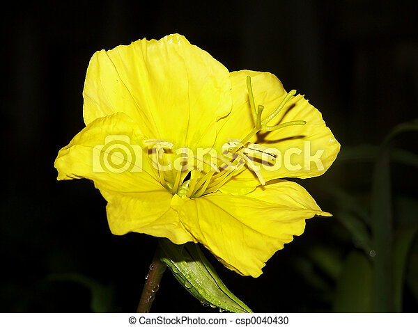 Moon flower yellow bloom at night moon flower csp0040430 mightylinksfo