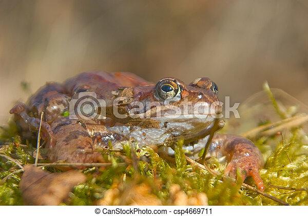 moor frog  - csp4669711