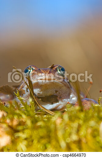 moor frog  - csp4664970