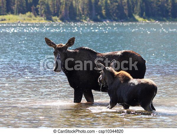 Moose and Calf at Glacier National Park - csp10344820