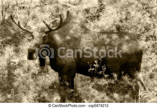 moose - csp5974212