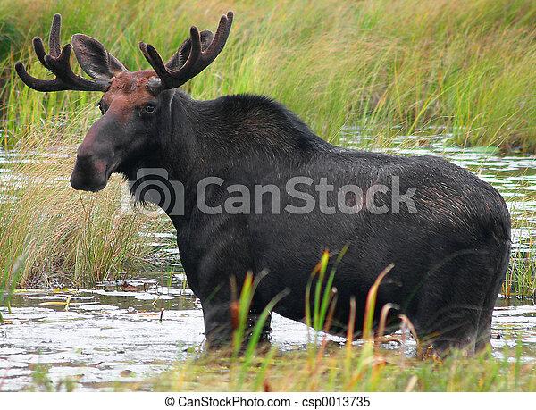 Moose - csp0013735