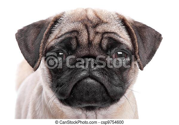 mops, junger hund - csp9754600