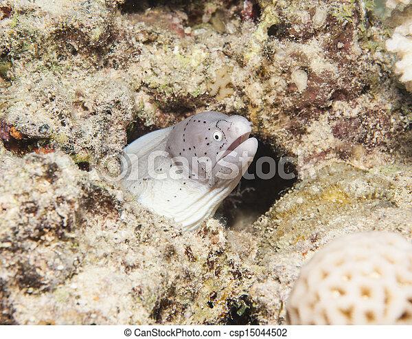 Moray pimienta en un arrecife de coral - csp15044502