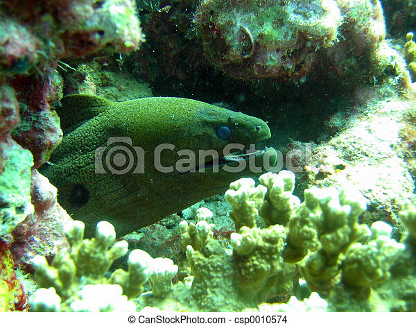 Moray Eel - csp0010574