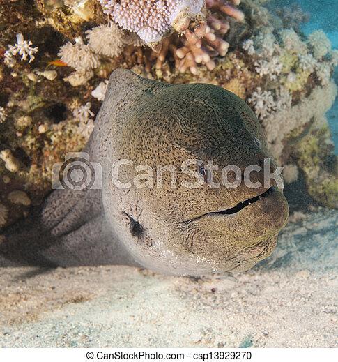 Una anguila gigante en un arrecife de coral - csp13929270