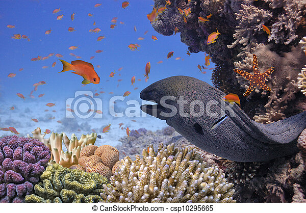 Giant moray en el mar rojo - csp10295665