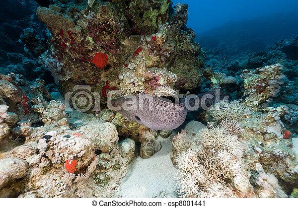 Giant moray en el mar rojo. - csp8001441