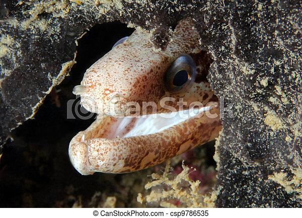 Un primer plano de una anguila morayosa nublada (Echidna nebulosa), lembeh strait, indonesia - csp9786535
