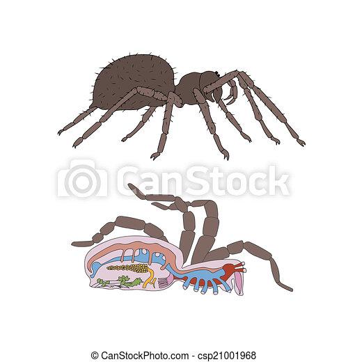 Morfología, sección transversal, araña. Anatomía, zoología, sección ...