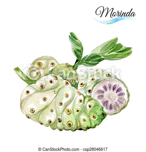 morinda - csp28046617