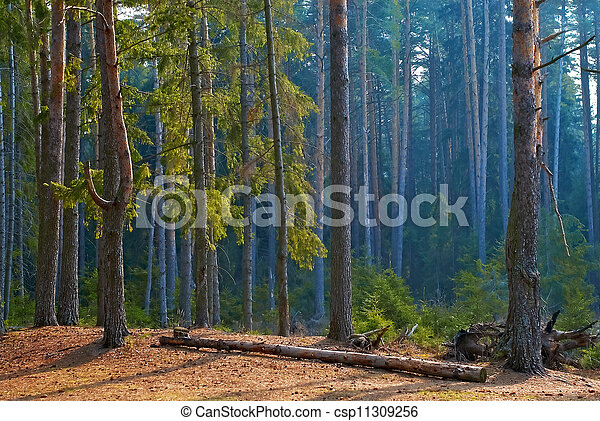 Morning in a pine forest - csp11309256