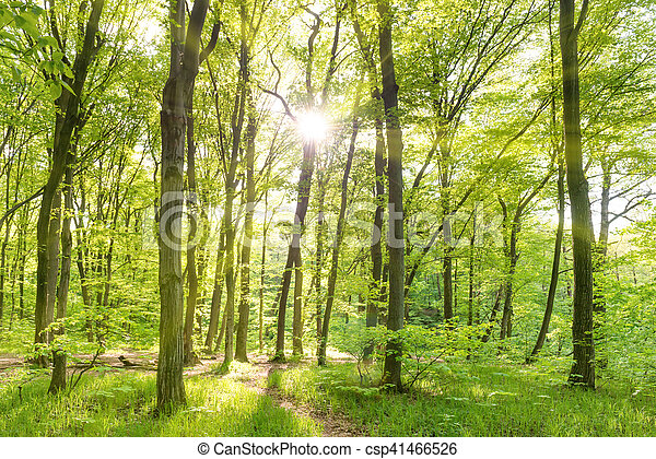 Morning in sunny forest - csp41466526