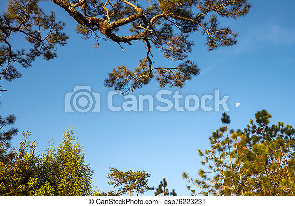Morning moon and pine branches - csp76223231
