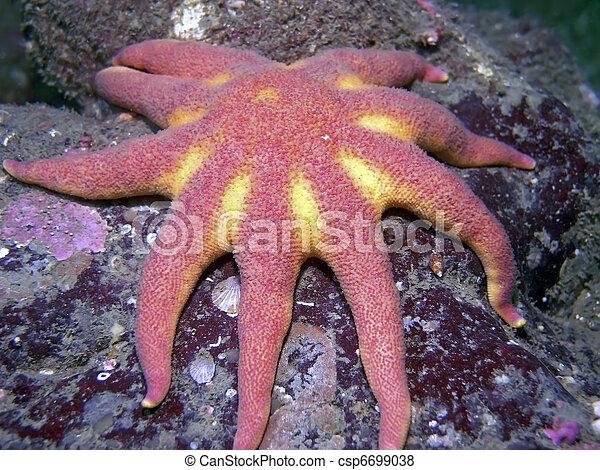Morning Sun Star (Solaster dawsoni) - csp6699038