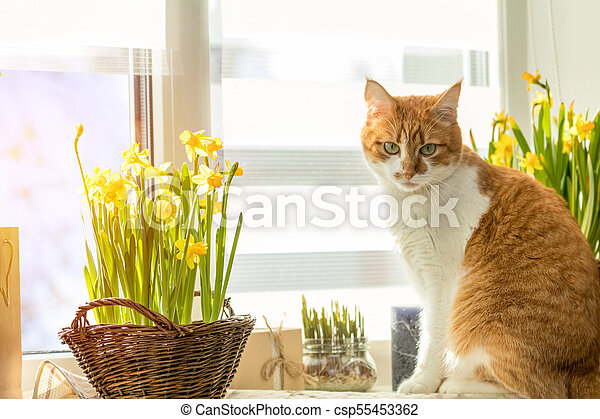 Morning sunlight on the red cat. Cute funny red-white cat on the windowsill with blossom yellow daffodils, close up. - csp55453362