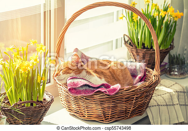 Morning sunlight on the sleeping red cat in basket with daffodils - csp55743498