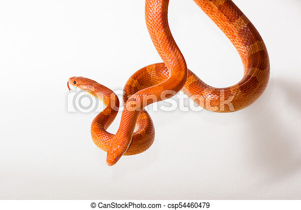 Morph Corn Snakes Cute Corn Snake Female And Male With Protruding Tongue On Neutral Background Hypo Fire And Hypo Bloodred,How To Get Rid Of Flies In Potted Plants