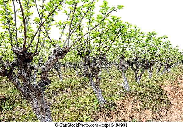 Morus Alba Spring Botanical Gardens A Small Piece Of Mulberry