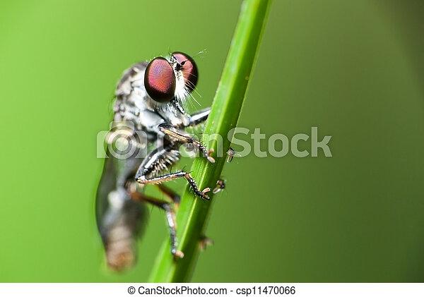 mosca, primo piano, ladro - csp11470066