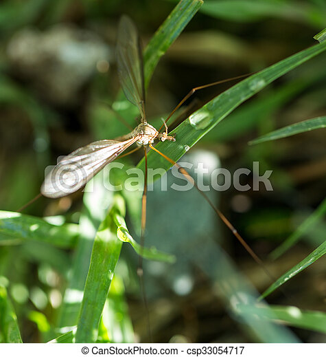 mosquito in the grass outdoors. macro - csp33054717