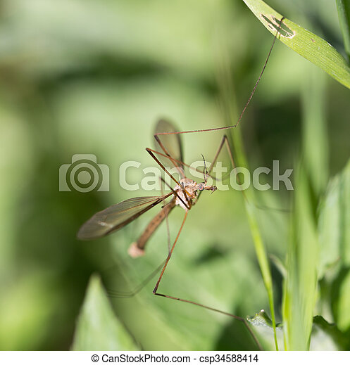 mosquito in the grass outdoors. macro - csp34588414