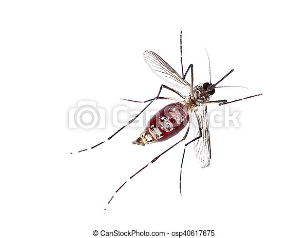 Mosquito isolated on white background - csp40617675