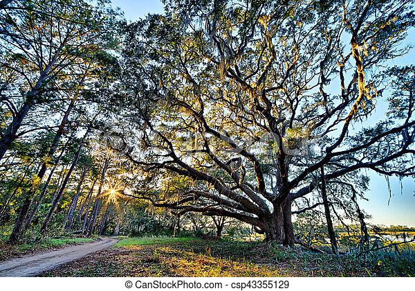 Moss draped Live Oak over the Edisto River at Botany Bay Plantation in South Carolina - csp43355129